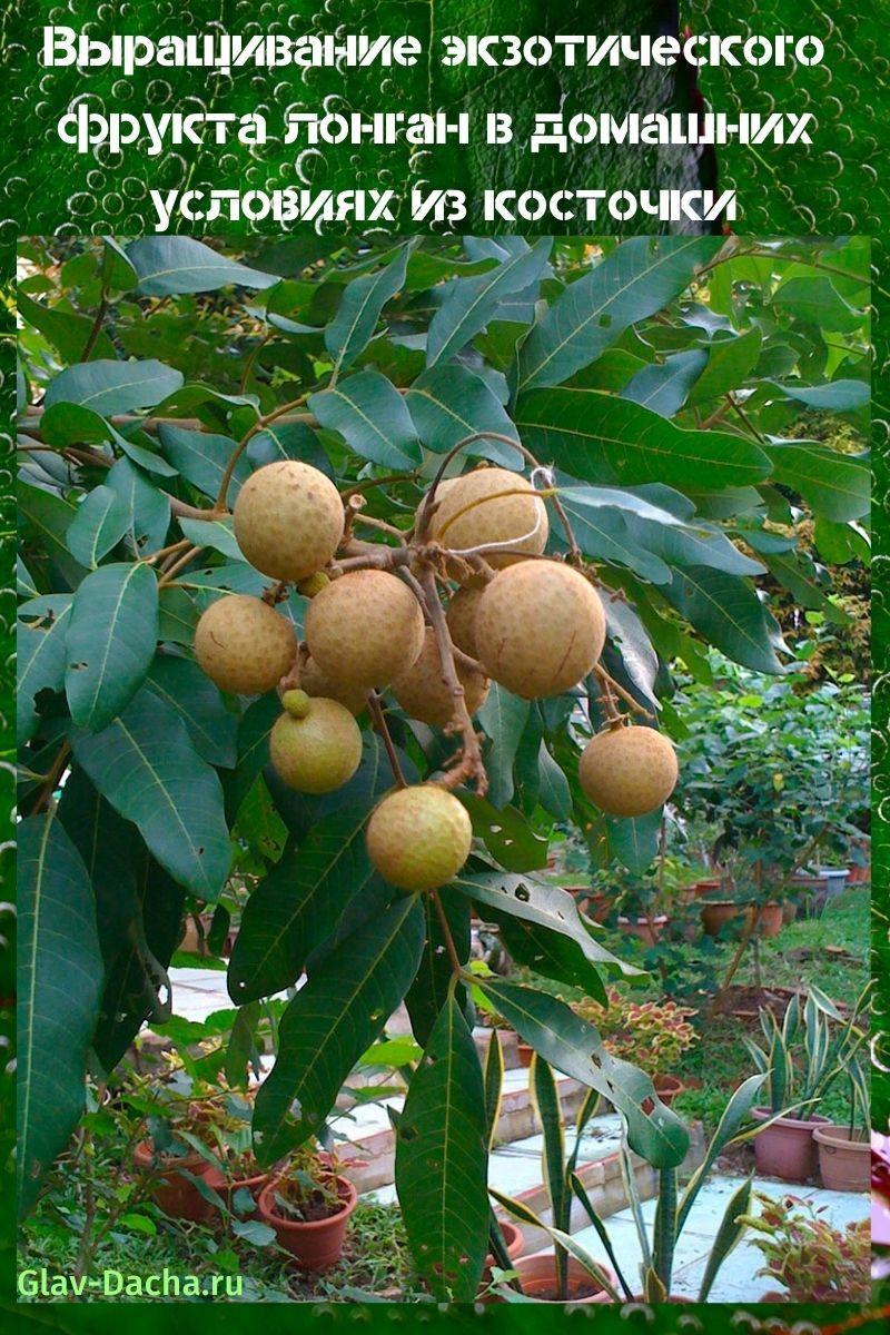 выращивание фрукта лонган в домашних условиях
