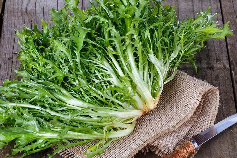 двудольное растение салат эндивий