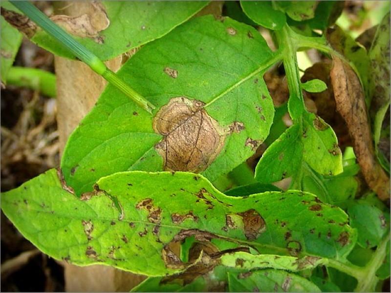 листья картофеля пораженные альтернариозом