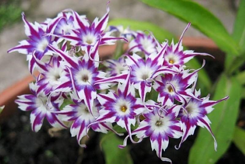 цветение однолетнего флокса