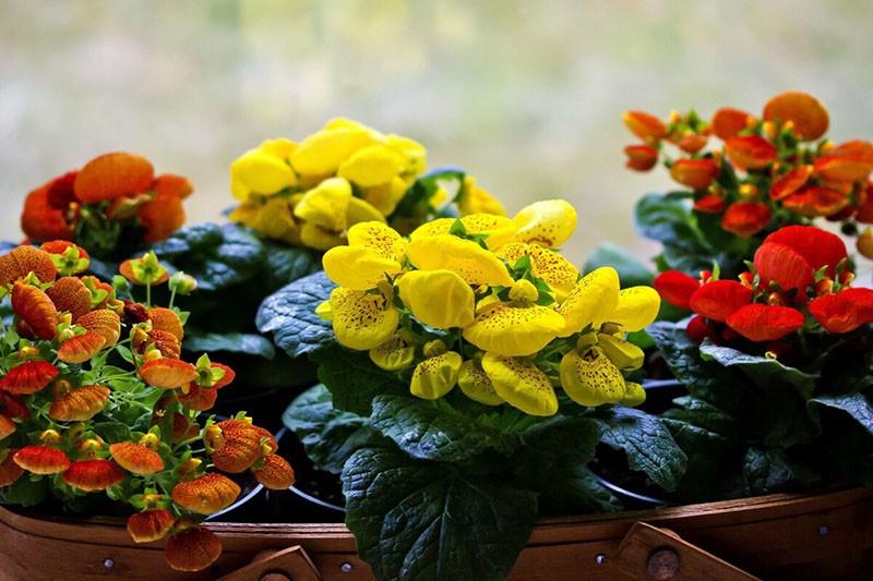 комнатный цветок кальцеолярия