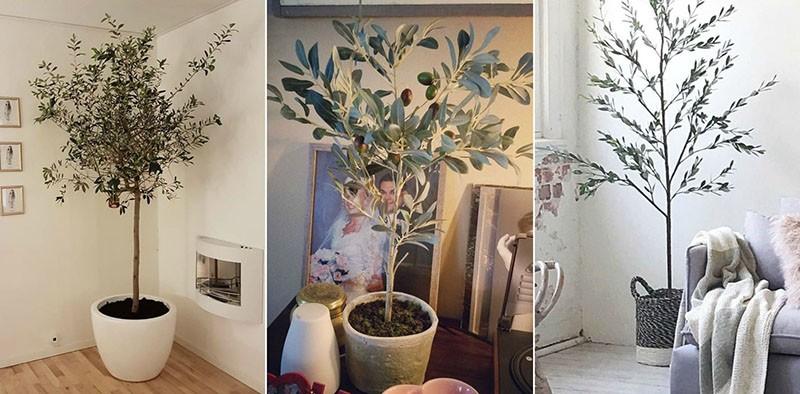 оливковое дерево в интерьере помещения