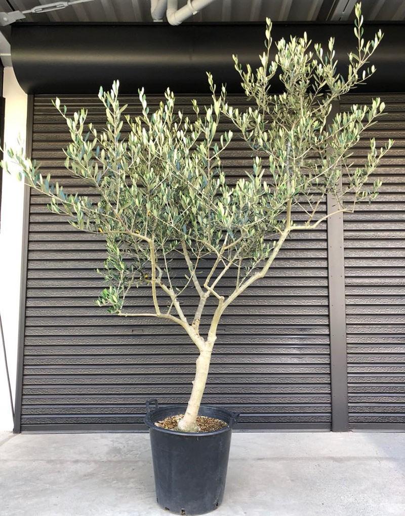 выращенное из косточки оливковое дерево