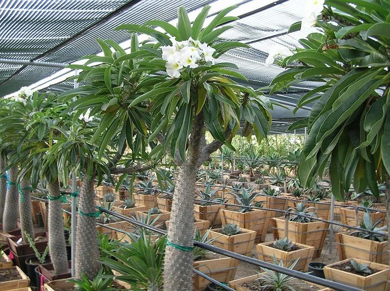 кактус пахиподиум с листьями в питомнике