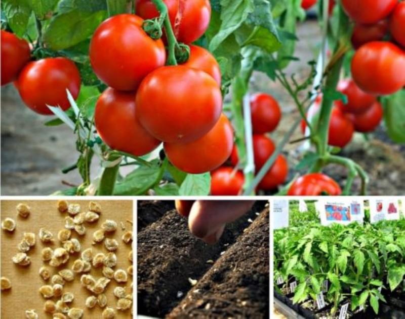 когда сеять томаты на рассаду с доращиванием в теплице