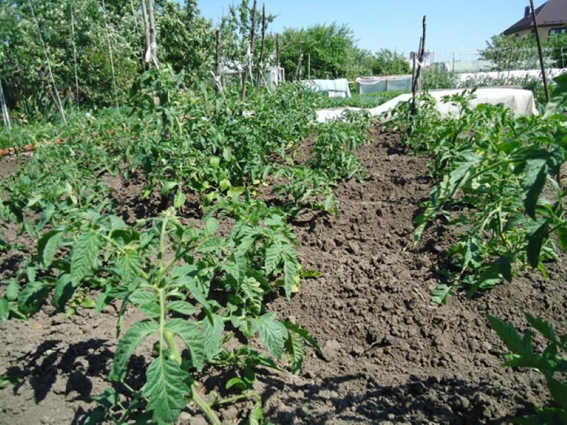 сроки посадки томатов с дальнейшей высадкой сразу в грунт