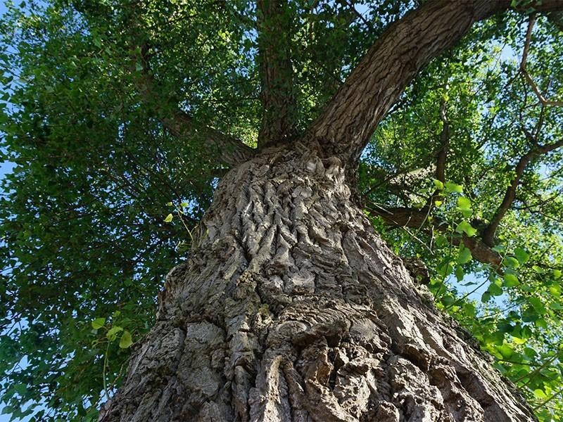 дерево черный тополь