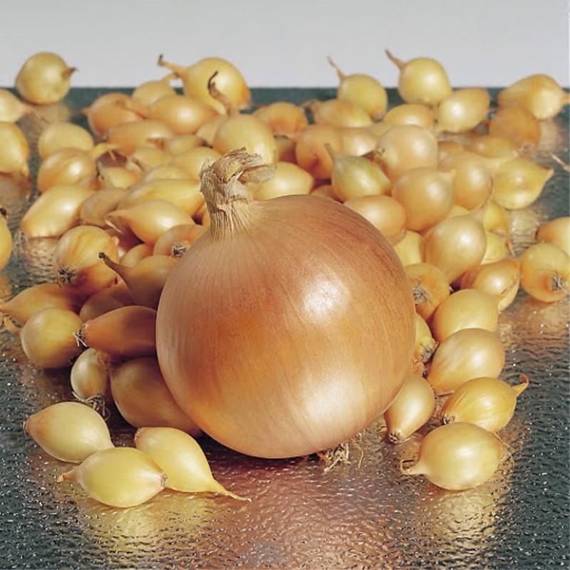луковицы сорта геркулес