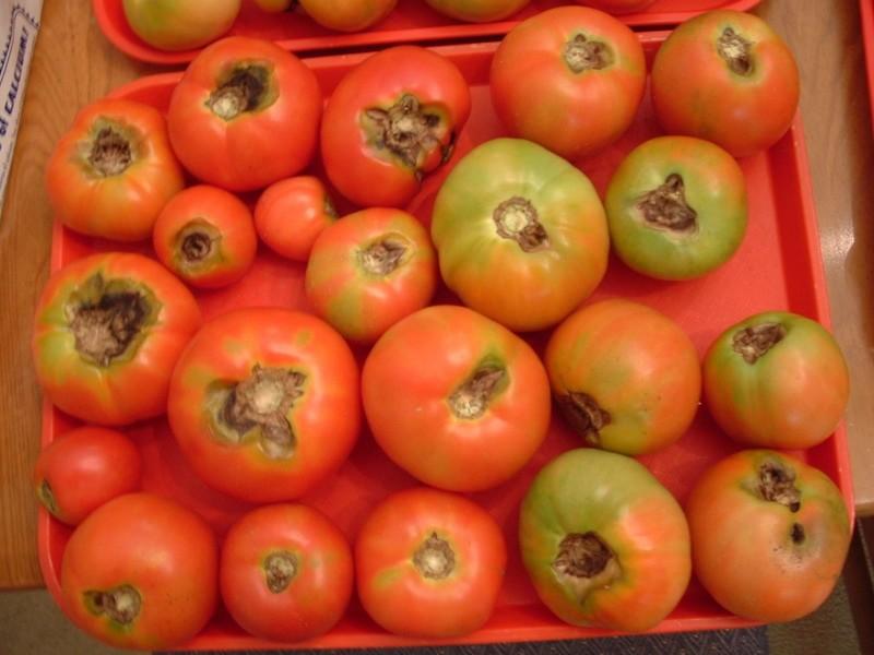 макроспориоз на плодах помидор
