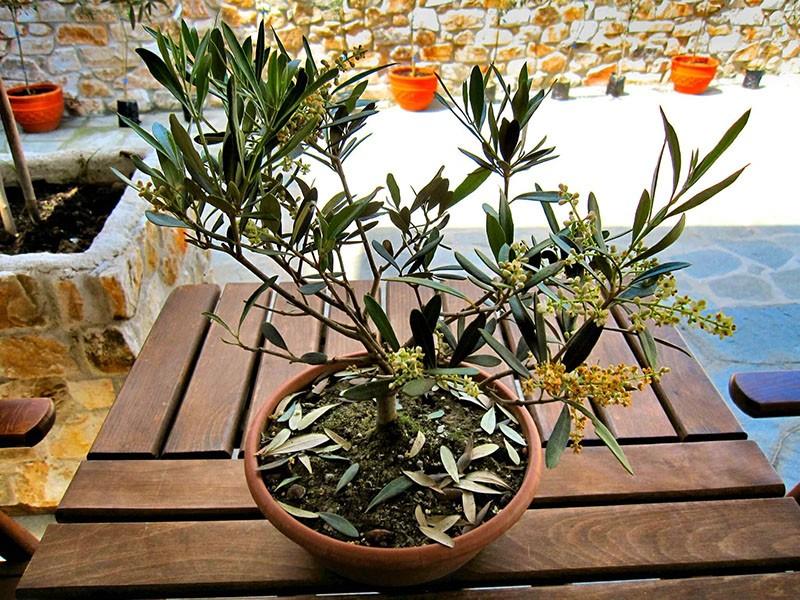цветет оливковое дерево в домашних условиях