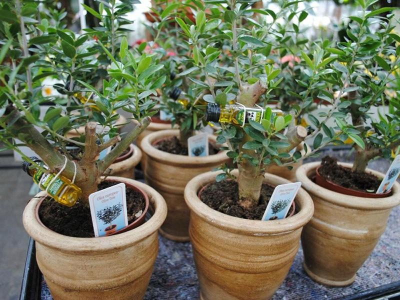 освещение для оливкового дерева