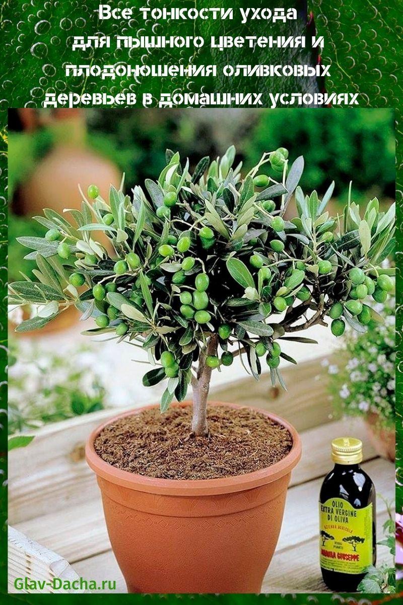 оливковые деревья в домашних условиях