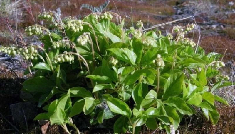 растение ортилия однобокая