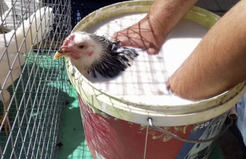 обработка кур от пероеда
