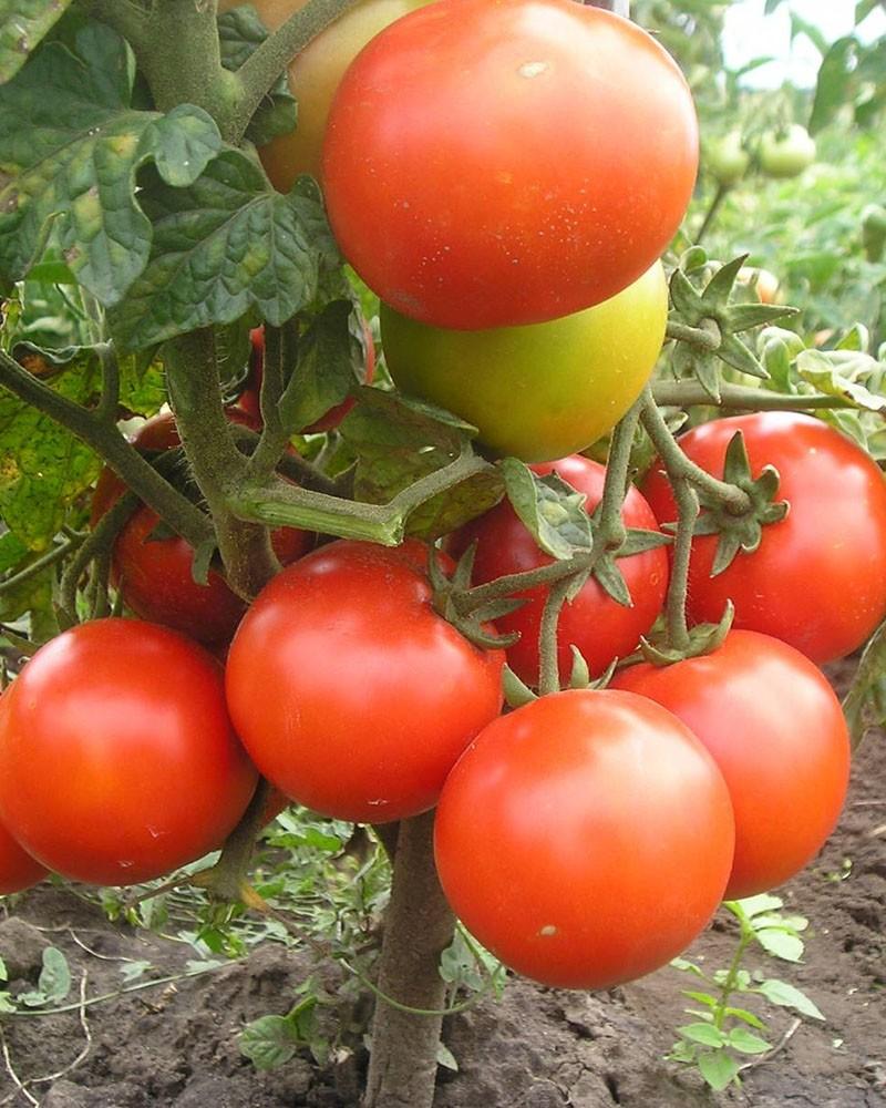 популярные сорта томатов для теплиц ленобласти