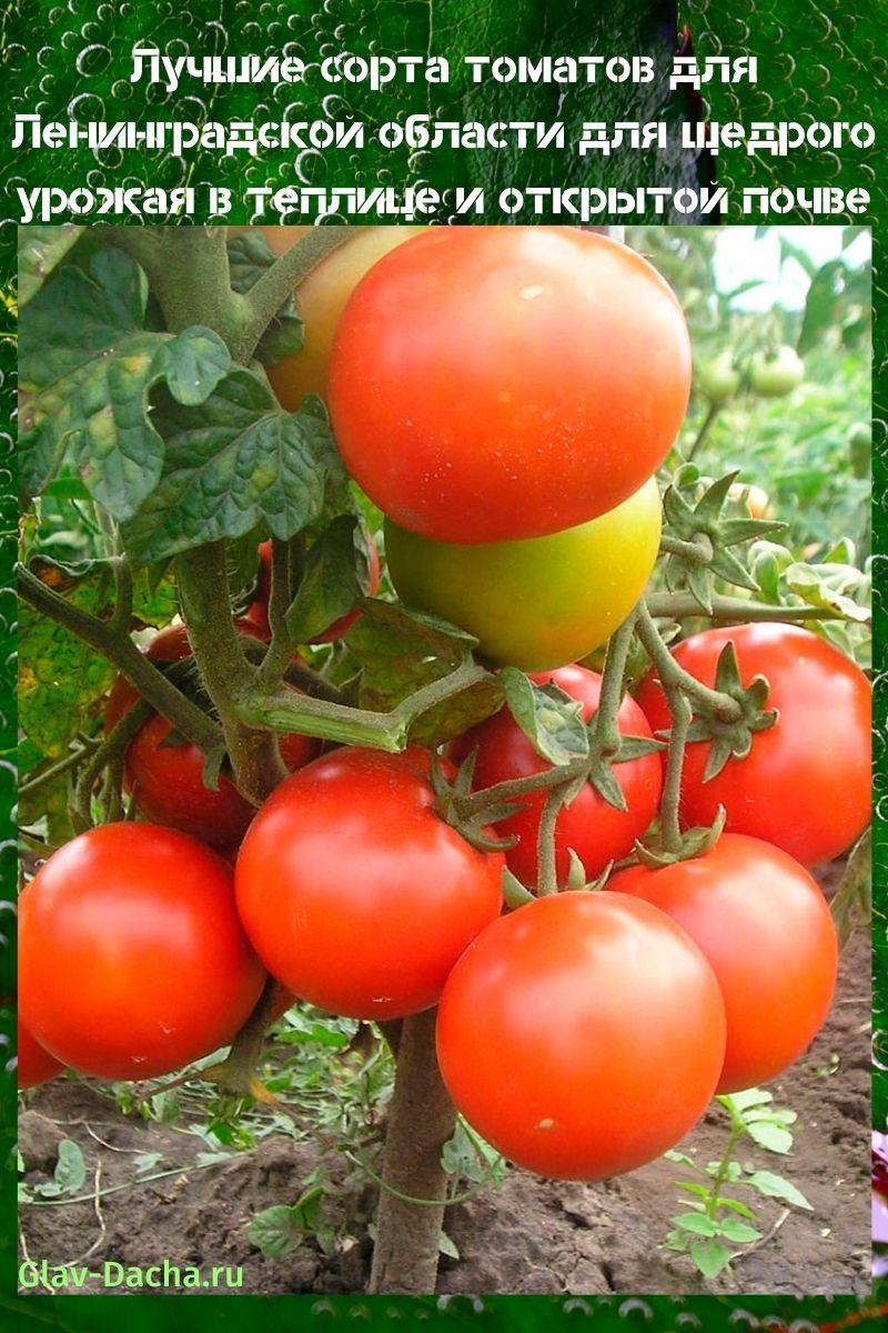 сорта томатов для Ленинградской области