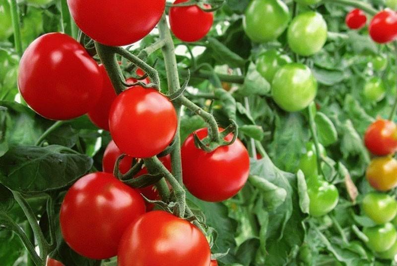 выбираем сорта томатов для Ленинградской области