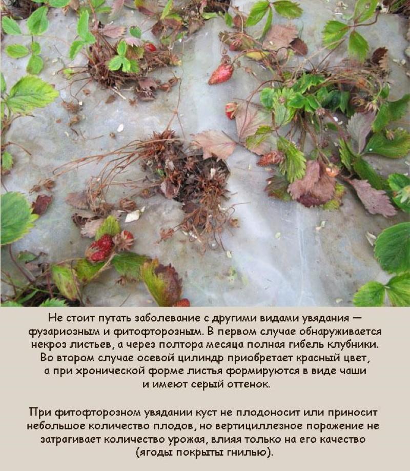 вертициллез грибок на клубнике