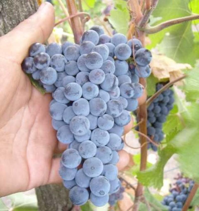 виноград красностоп золотовский