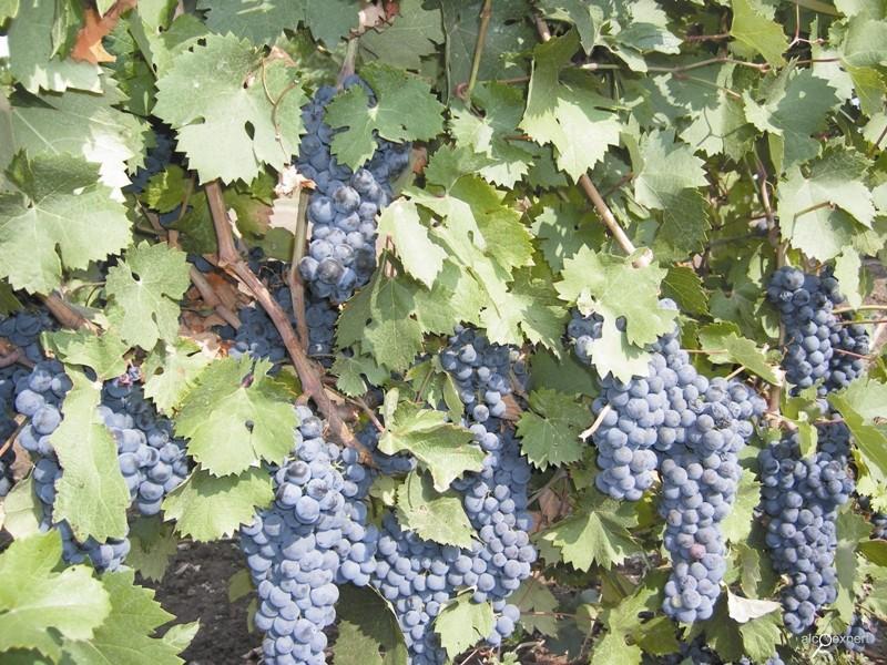 донской сорт винограда красностоп золотовский