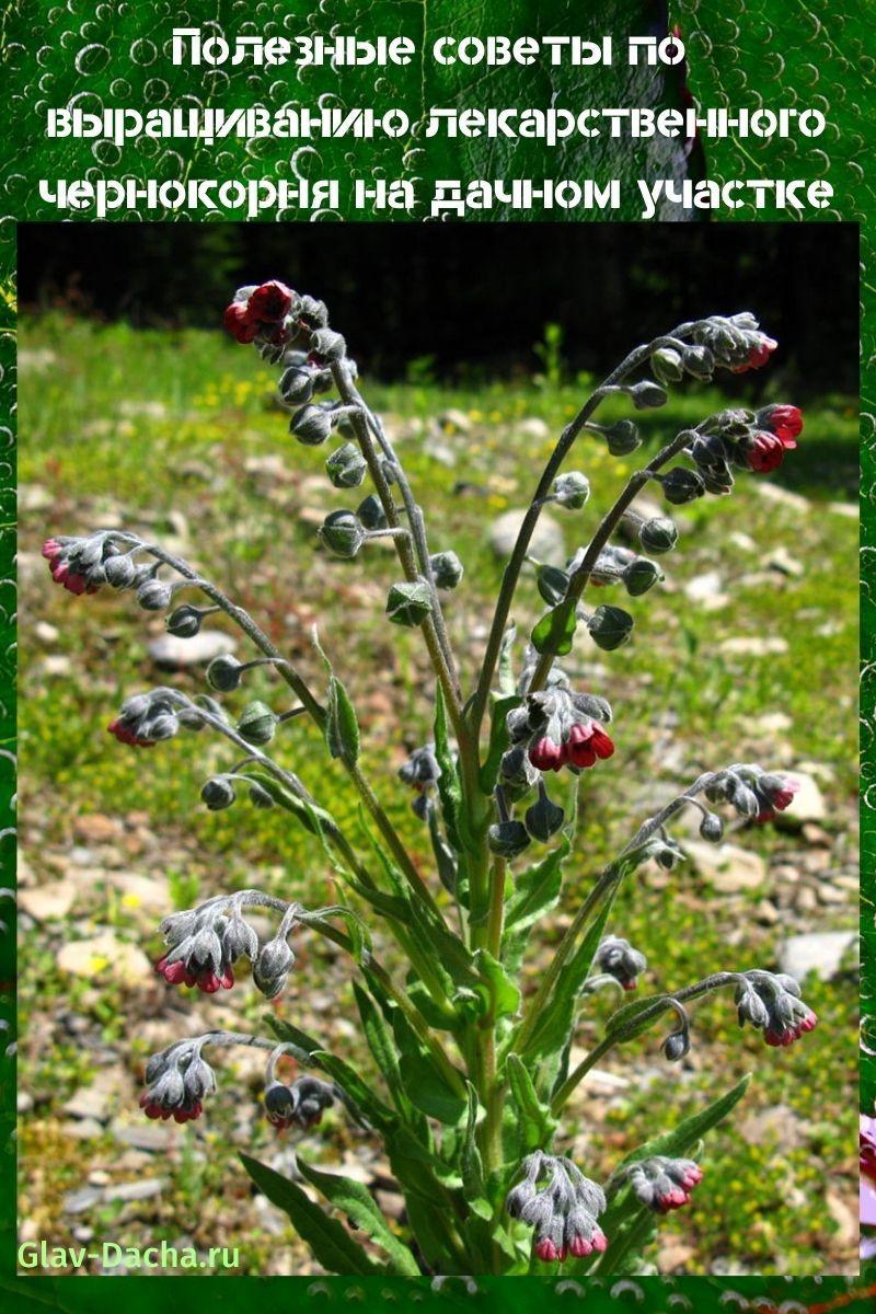 выращивание лекарственного чернокорня