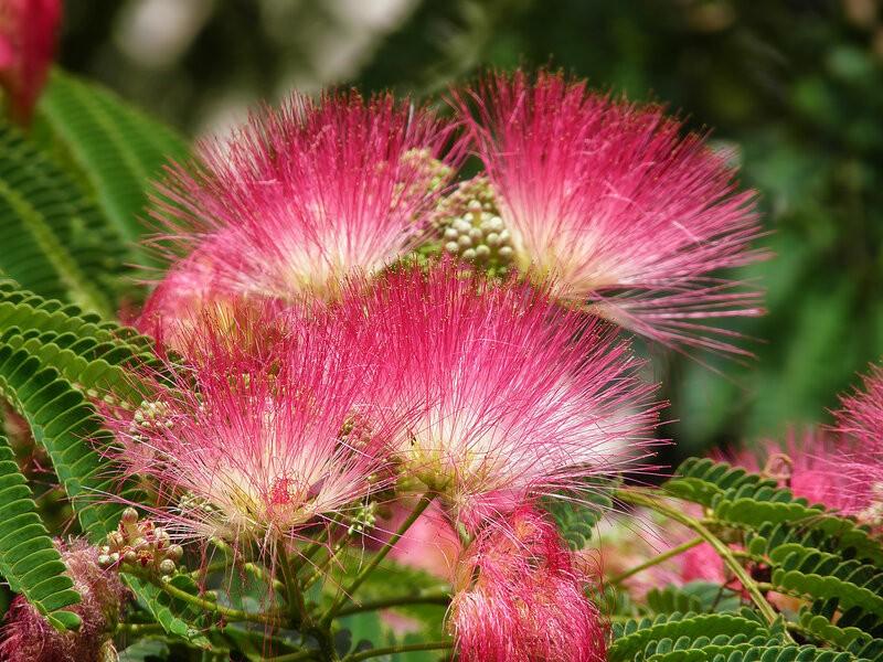 цветение альбиции