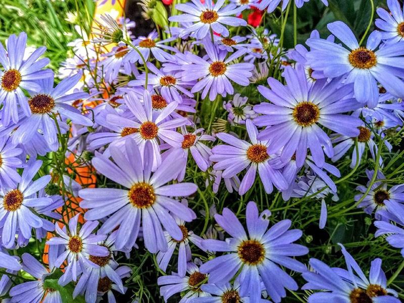 цветы с нежным ароматом