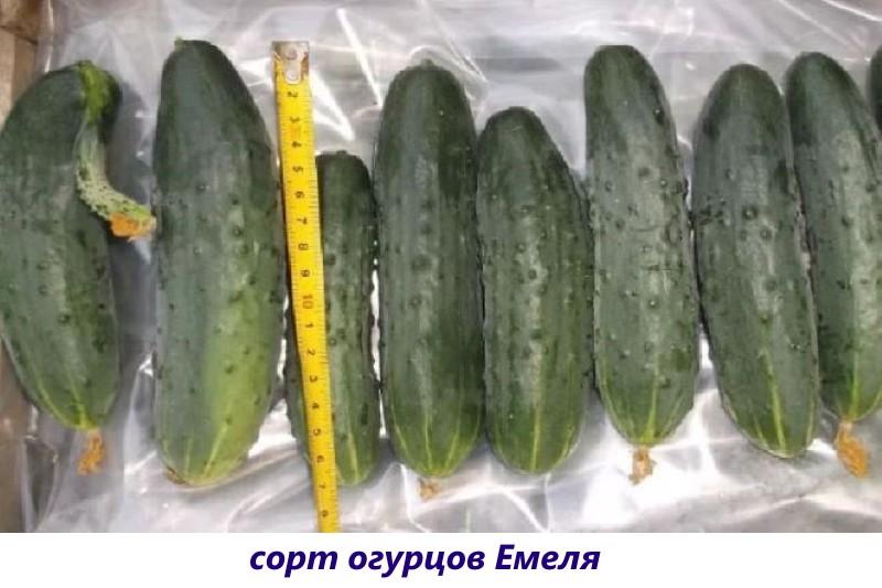 сорт огурцов емеля