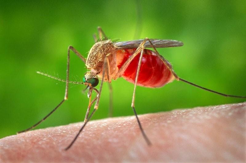 надоедливый комар