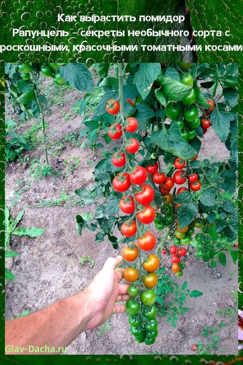 как вырастить помидор Рапунцель