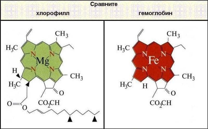 структура молекул хлорофилла и гемоглобина