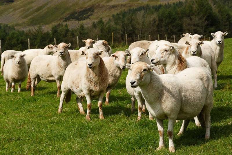 отара овец молочной породы