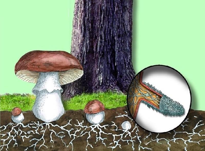 симбиоз дерева и гриба