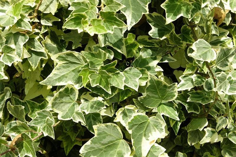 растение из семейства аралиевых