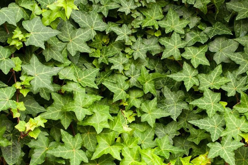 плотные листья плюща