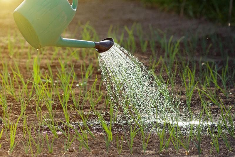 когда начинать полив лука