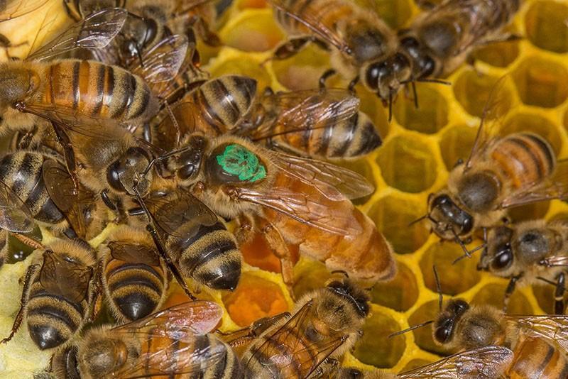 матка пчелиной семьи