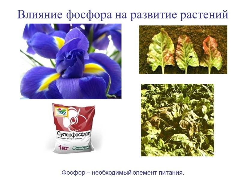 роль фосфора для растений
