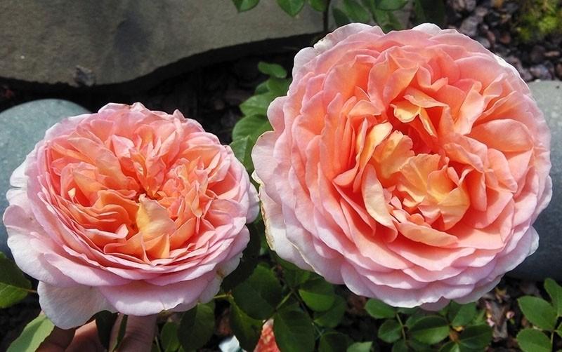крупные ароматные цветы