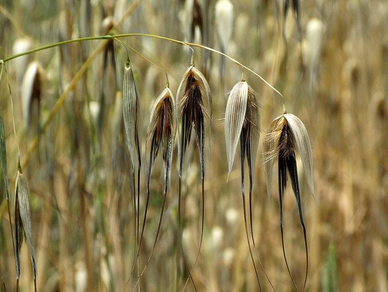 семена остюга