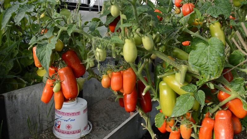 особенности сорта томата Жигало