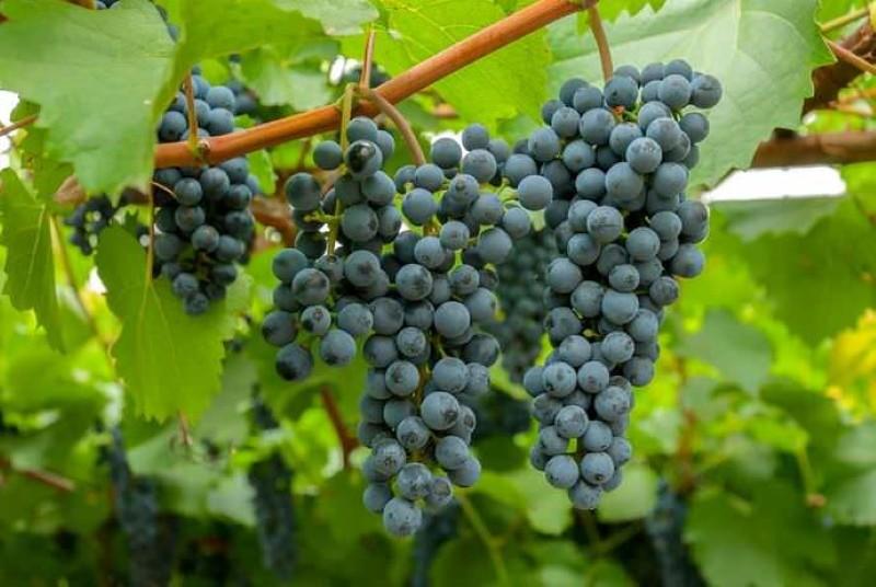 сорт винограда таежный
