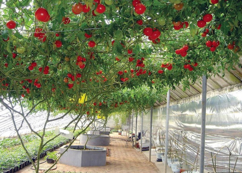 помидорное дерево
