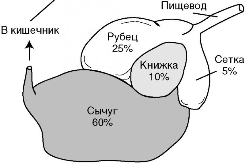 строение желудка жвачных животных