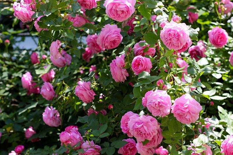 сорта роз для приготовления вина
