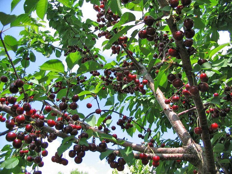 опылители для вишни чернокорка