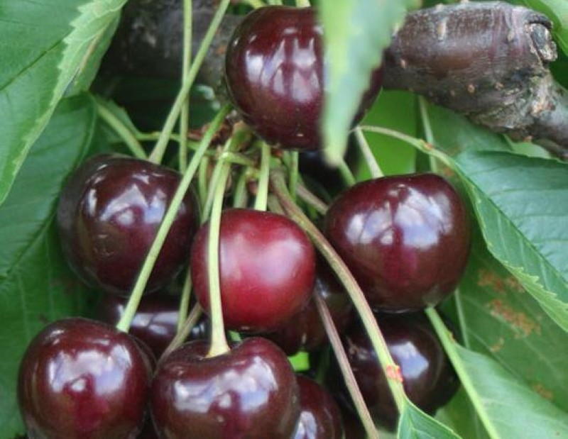 ягоды вишни чернокорка