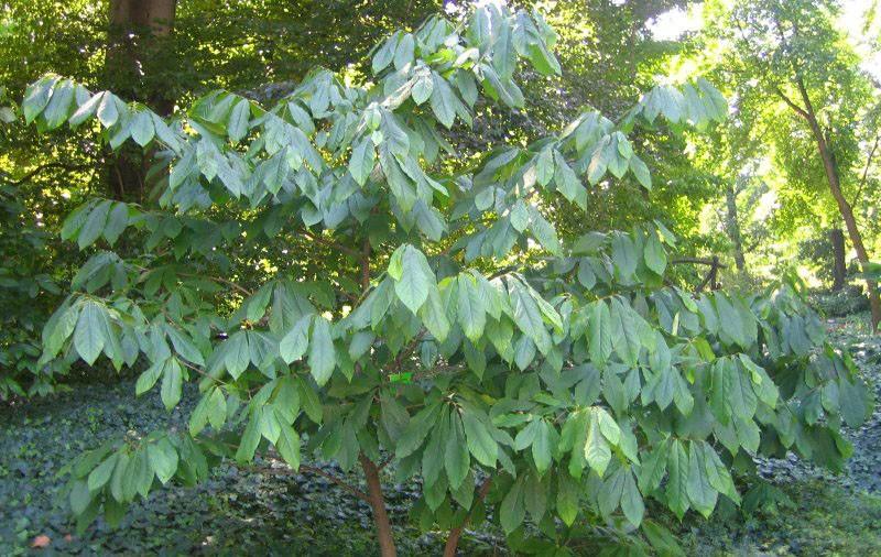 растение из семейства анноновых