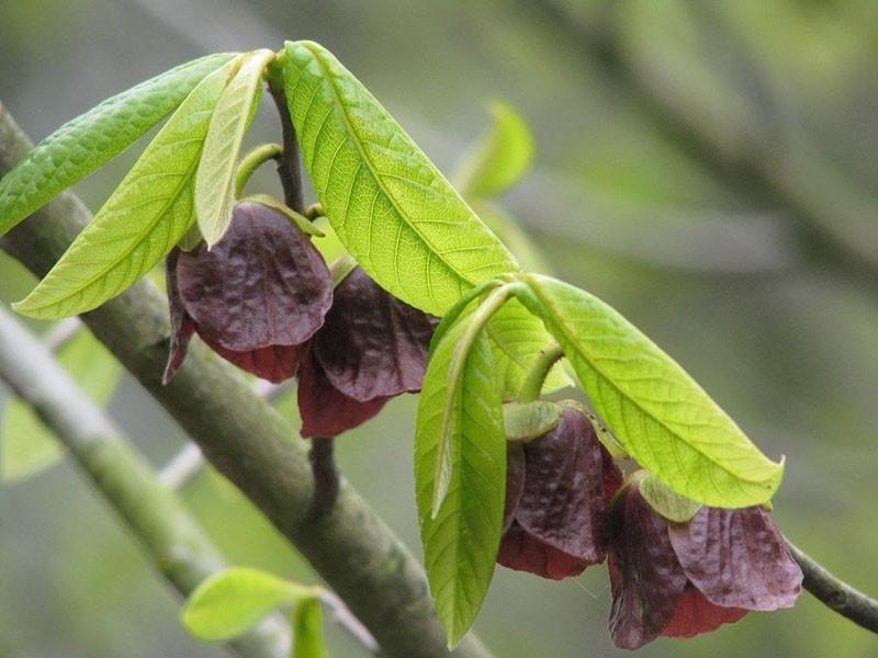 листья и цветы азимины