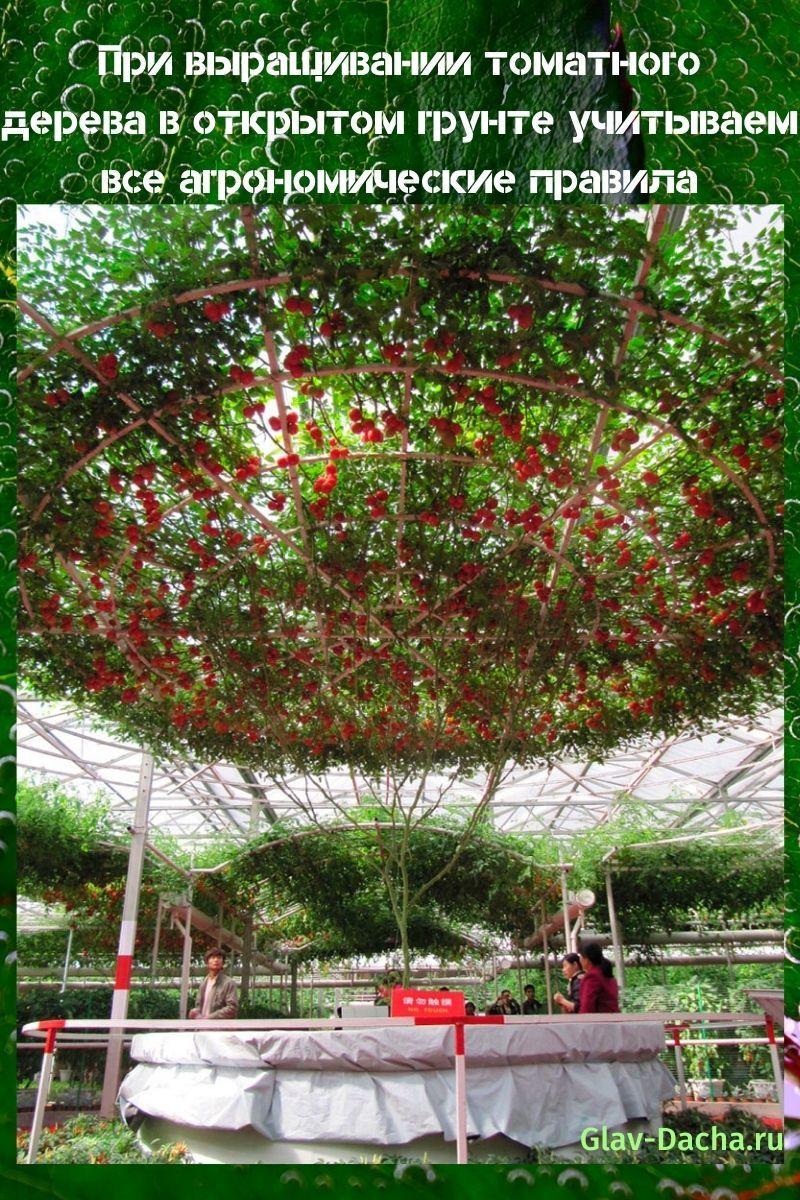 выращивание томатного дерева в открытом грунте